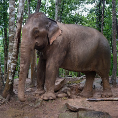 Eye to eye with an unchained Elephant