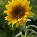 Photo: Sunflower