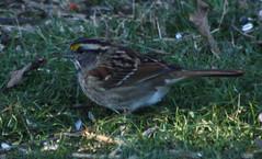 White-Throated Sparrow (Mutombu) Tags: birds backyard pennsylvania sparrow songbird whitethroated