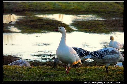 Lesser Snow Geese (Chen caerulescens caerulescens)