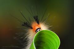 KaBoooom!!! ~ Happy New Year! (wewet) Tags: hairy macro insect caterpillar batangas 1855mm itchy reverselens d90 higad diyflashdiffuser ranchobanaag
