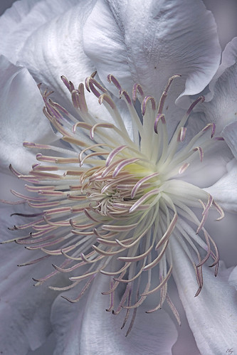 The white clematis
