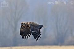 Aquila di mare, Haliaeetus albicilla, Sea Eagle (paolo.gislimberti) Tags: birds flight uccelli volo eagles birdsofprey rapaci aquile predatori