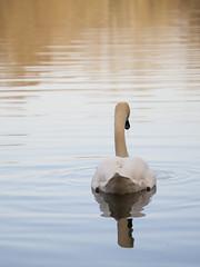 Hasta la vista Baby ! **--- --° (Titole) Tags: cygne swan titole behind nicolefaton reflection water friendlychallenges challengeyouwinner thechallengefactory