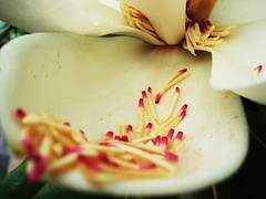 Magnolia-3 (Dr. Fieldgood) Tags: pink white flower petal stamen magnolia colorphotoaward seenonflickr