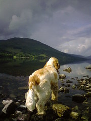 Rona at Loch Earn (cocopie) Tags: orange english spaniel loch cocker roan fanciers rona earn orangeroan orangeroancockerspaniel