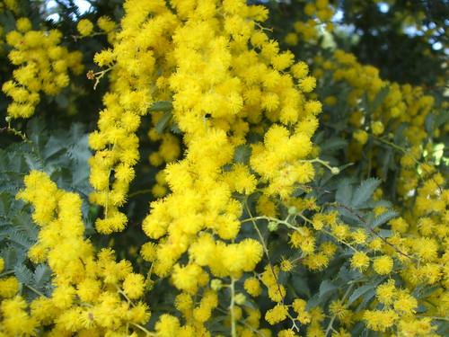 Cootamundra Wattel (acacia baileyana)