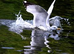 Splashdown! (Steve-h) Tags: ireland dublin orange white water canon eos grey wings gull feathers explore frontpage duckpond ststephensgreen 500d steveh abigfave aplusphoto flickraward platinumheartaward