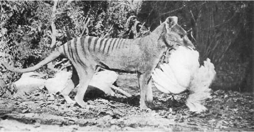 Thylacines 03 (Wiki)