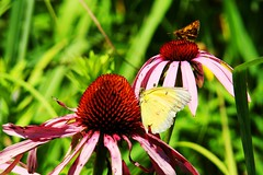 Clouded sulphur and skipper coneflowers