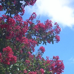 Crepe Myrtle Tree and Cloud