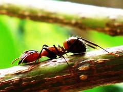 Alone again / Sendiri Lagi ( Rizalman Kasman Photography) Tags: ants semut olympusfe280 platinumbestshot rizalmankasman