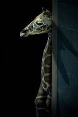 Contemplative Baby Giraffe (Simple Insomnia) Tags: city blue baby lake cold animal utah sad salt lonely giraffe
