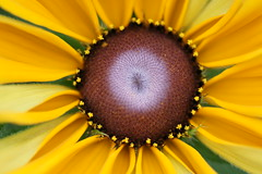 Your Smiling Face (hotes trinkets/DaydreamingKat) Tags: flowers ohio summer flower macro nature fleur yellow natural closeups rudbeckia blackeyedsusan flore rudbeckiahirta sooc straightfrommycamera nocolorsadded sonyalphadslra700 yoursmilingface absolutelynatural hotestrinkets