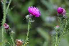 Lifecycle (John H Bowman) Tags: flowers virginia thistle parks august nationalparks 2009 blueridgeparkway canon24105l augustacounty virginiamountains august2009