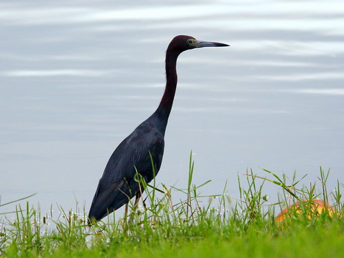 Little Blue Heron 20090831