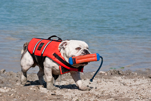 english bulldogs rock share yours pets in photography on the