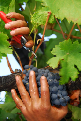 Harvesting Aragonez