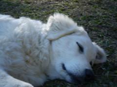 Ursula dormindo ao sol em 15 de set 09 (canil refugio na montanha) Tags: ursula kuvasz morroreuter