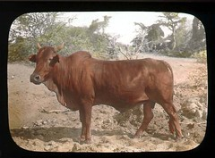 Bull (The Field Museum Library) Tags: africa expedition mammals somalia zoology 1896 carlakeley specimencollection dgelliot