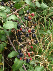 Brambles (Bucephalus & Beaver) Tags: red black blackberry path beaver bunch spines brambles unripe ripe mudramps