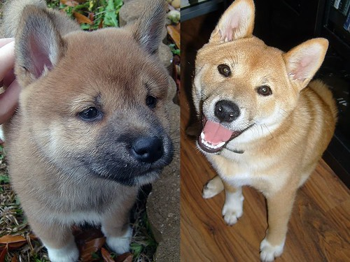 On the left is Okami the day he went to his new home and on the right is Okami at 6 months old.  Notice the difference?