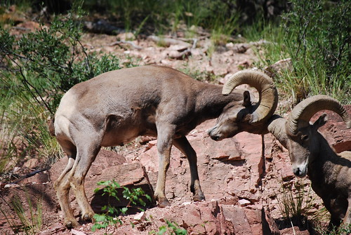 Bighorn Sheep Fighting. Big Horn Sheep Ramming