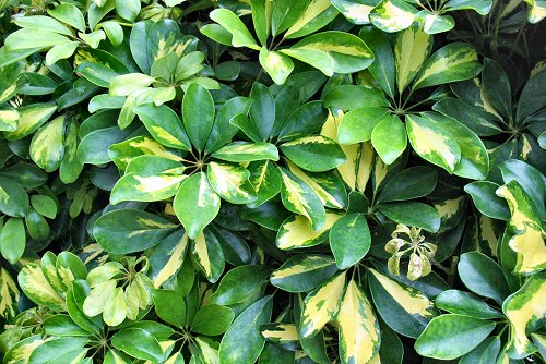 Schefflera arboricola 'Variegata' (rq) - 02