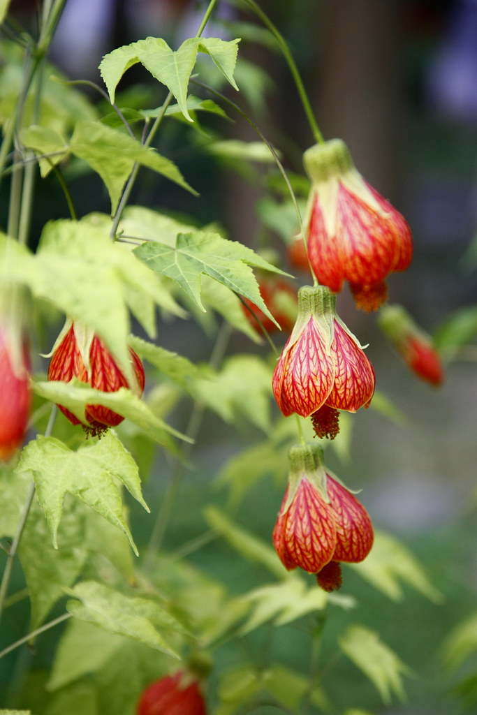 The Worlds Best Photos Of Abutilon And Striatum Flickr Hive Mind