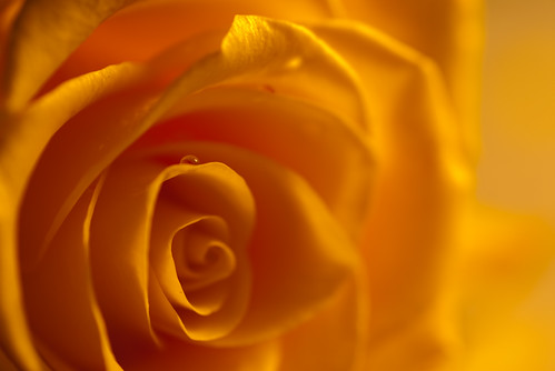 Experimente - Rose