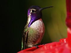 "Meet ""Prince"" (joecrowaz) Tags: arizona color bird nature phoenix beauty animals hummingbird purple bokeh naturallight olympus 300mm backlit e500 naturesfinest costashummingbird supershot bej avianexcellence excellenceinavianphotography goldstaraward rubyphotographer vosplusbellesphotos"