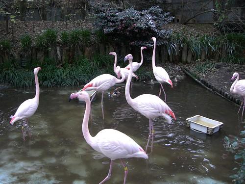 オオフラミンゴ/Greater Flamingo