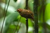 White-throated Antbird (Gymnopithys salvini), female (jmittermeier) Tags: gymnopithys fbwnewbird fbwadded whitethroatedantbird gymnopithyssalvini