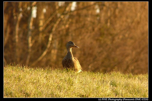 Female Mallard (Anas platyrhynchos) searching for her friends
