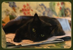 """""""Did you want the Sports Page?"""" (Judecat (HOME AGAIN!)) Tags: cat blackcat feline bella"""