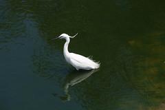 Aigrette blanche (Trois_Merlettes) Tags: egypt aswan aigrette birdsonthenile