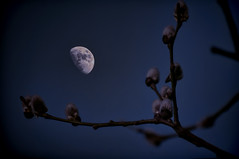 Moonlit Pussy Willow 69/365 (pollylew) Tags: sky moon tree branches moonlit willow moonlight eveningsky pussywillow
