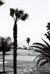 Adeje golf palms. Tenerife 2016 (arsenterzyan) Tags: golf tenerife adeje palms ilford film bw grain canon canaria travel analog