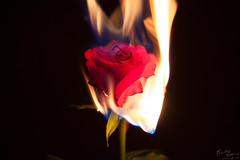 St Valentine's Day Massacre (BeckiGroves) Tags: 365the2017edition 3652017 day45365 14feb17 valentinesday rose burning fire flames red flower burningflower
