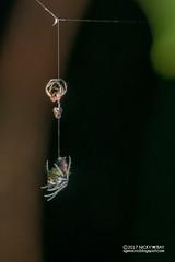Orb weaver spider (Araneus sp.) - DSC_0712 (nickybay) Tags: singapore riflerangeroad macro araneidae araneus nox orb weaver spider moulting