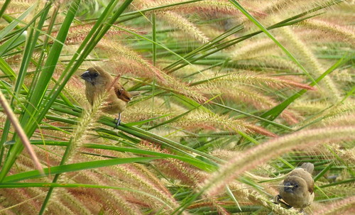 Scaly-Breasted Munia´s In High Grass Outside Hua Hin - Thailand