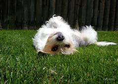 chilling out (nicremo) Tags: dog pet beagle animal nikon coolpix