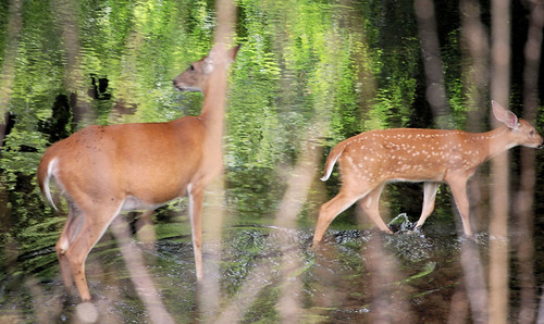 Deer and Fawn Along Root River Trail, MN