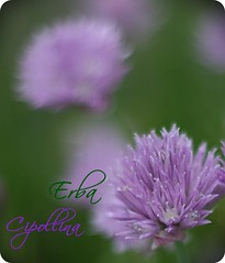 Erba Cipollina (*terry) Tags: flowers flower 50mm purple fiori f18 fiore erbacipollina chivechiveflowers