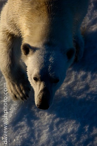 Nanuk: Polar Bear looking me right in the eye