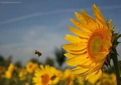 He said bye bye (DulichVietnam360°) Tags: flowers summer france macro fleur yellow canon europe bee explore sunflower été fp frontpage iledefrance tournesol ong hoa hè vitry valdemarne vitrysurseine fantasticflower pháp frontpageexplore mywinners canon400d hoahướngdương fieldsofsunflowers dulichvietnam360 châuâu parcdeslilas cánhđồnghoahướngdương