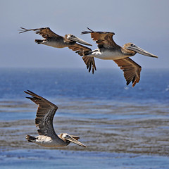 Pelican fly-past (petervanallen) Tags: world california trip blue sea usa beach pelicans coast flying nikon highway san pacific flight sansimeon simeon pacificcoasthighway d90 petervanallen wwwpetervanallencom