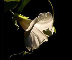La clochette blanche (Ellen_Anne (mostly off)) Tags: white black garden bravo buds garten schwarz blten weis ackerwinde awesomeblossoms worldsartgallery