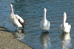 Pelicans (paulafunnell) Tags: australia pelican portmacquarie