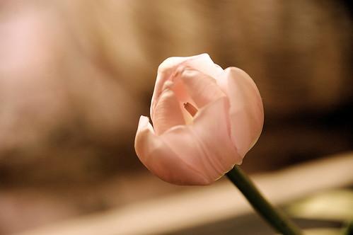 palest pink tulip